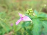 ツリフネソウ 花の姿(横顔)