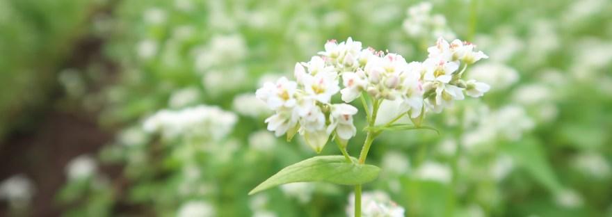Buckwheat ソバ