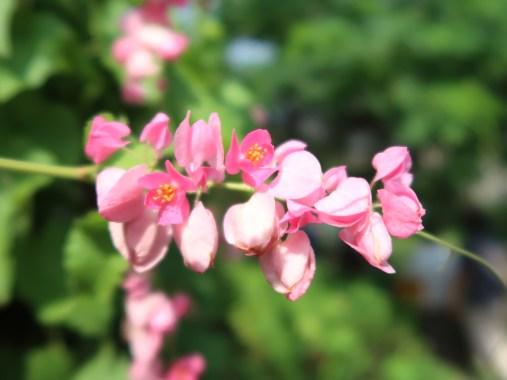 アサヒカズラ 花のアップ