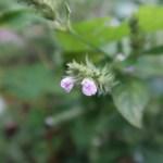 キツネノマゴ 花のアップ