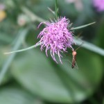 アザミ 蚊が止まっているタイアザミの花のアップ
