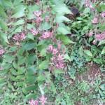 ホトトギス 花の咲いている姿