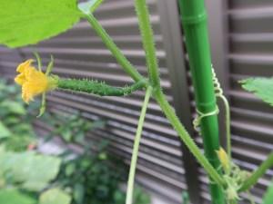 キュウリ  花のアップ(雌花)