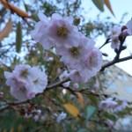 ジュウガツザクラ ジュネーブの花のアップ
