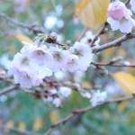 アーコレードの秋咲き?  ジュネーブの花の姿