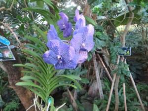 バンダ 花の咲いている様子
