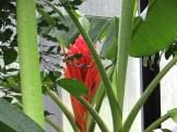 ヒメバショウ 花の姿