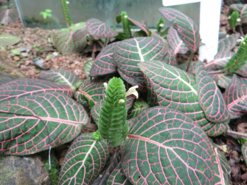 Nerve plant/ ベニアニメグサ