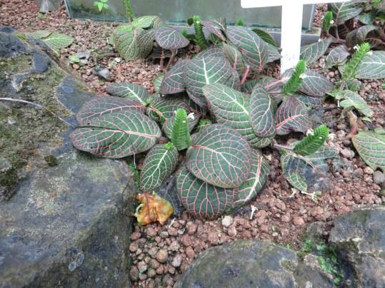 ベニアニメグサ 植物の様子