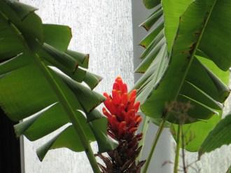 Scarlet banana/ ヒメバショウ