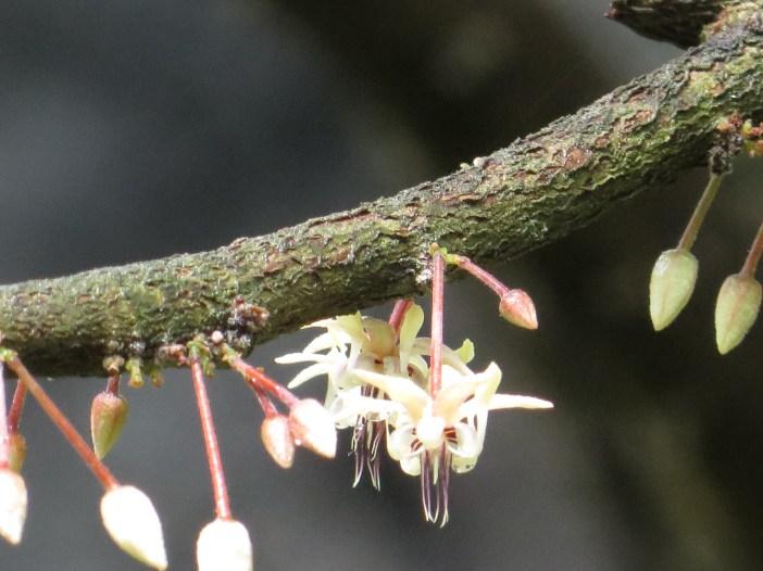カカオ 花のアップ