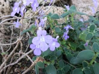 シンニンギア ゲルドティアナ 花の様子