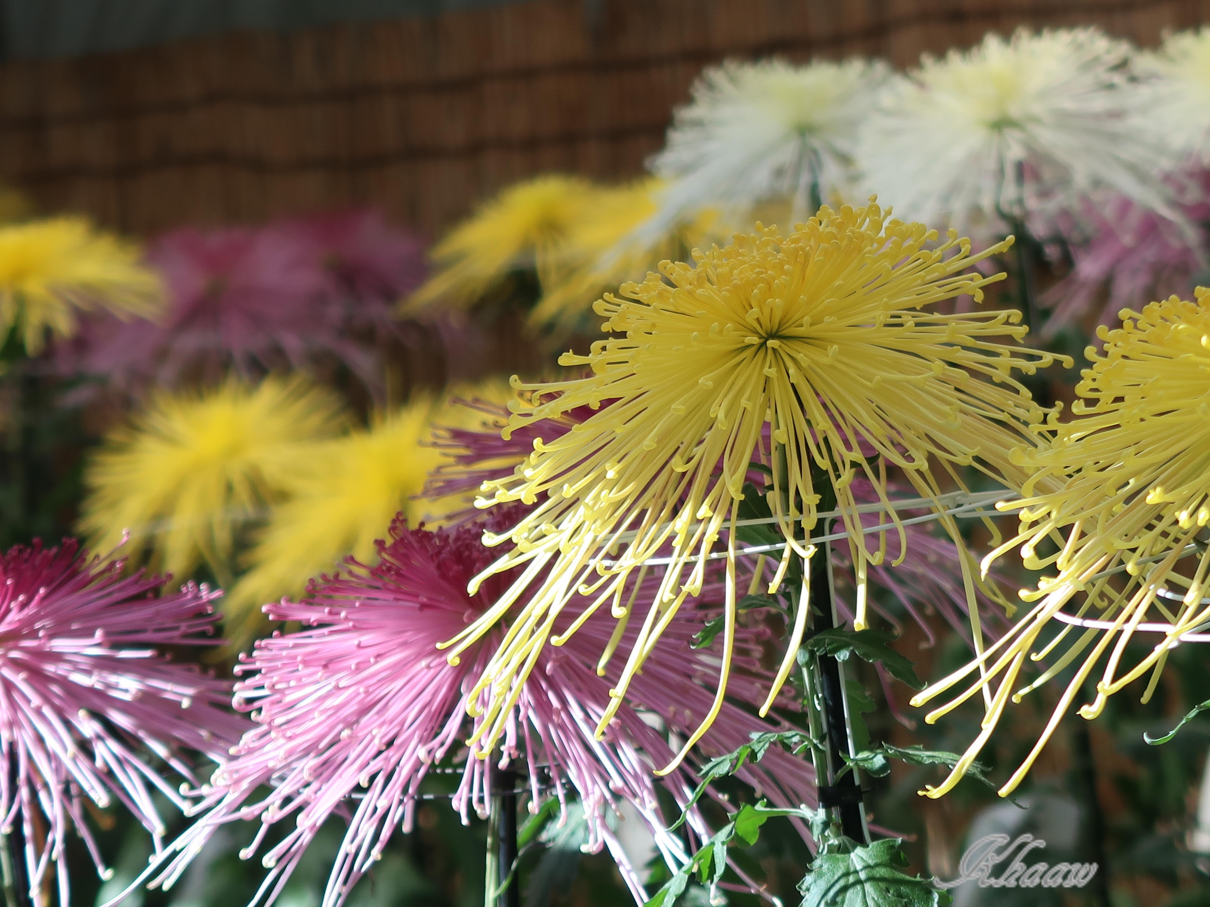 キク 大輪の見事な菊