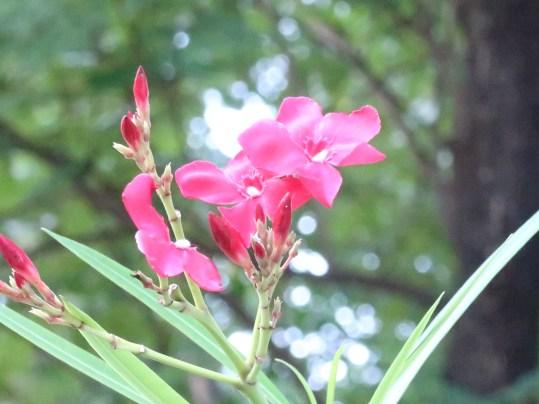 赤花のキョウチクトウ アップ