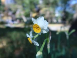 ニホンスイセン 花の姿