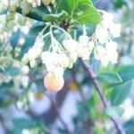 イチゴノキ 花と実