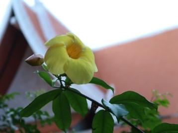 アリアケカズラ 花のアップ