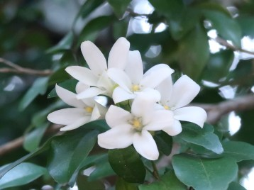 ゲッキツ 花のアップ
