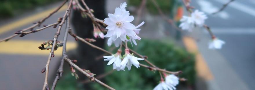 October cherry/ ジュウガツザクラ