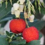 イチゴノキ 赤く熟した実