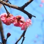 ウメ 早春の紅梅の花