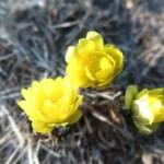 フクジュソウ 早春の花の様子
