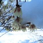ロウバイ 雪の下で咲くロウバイ