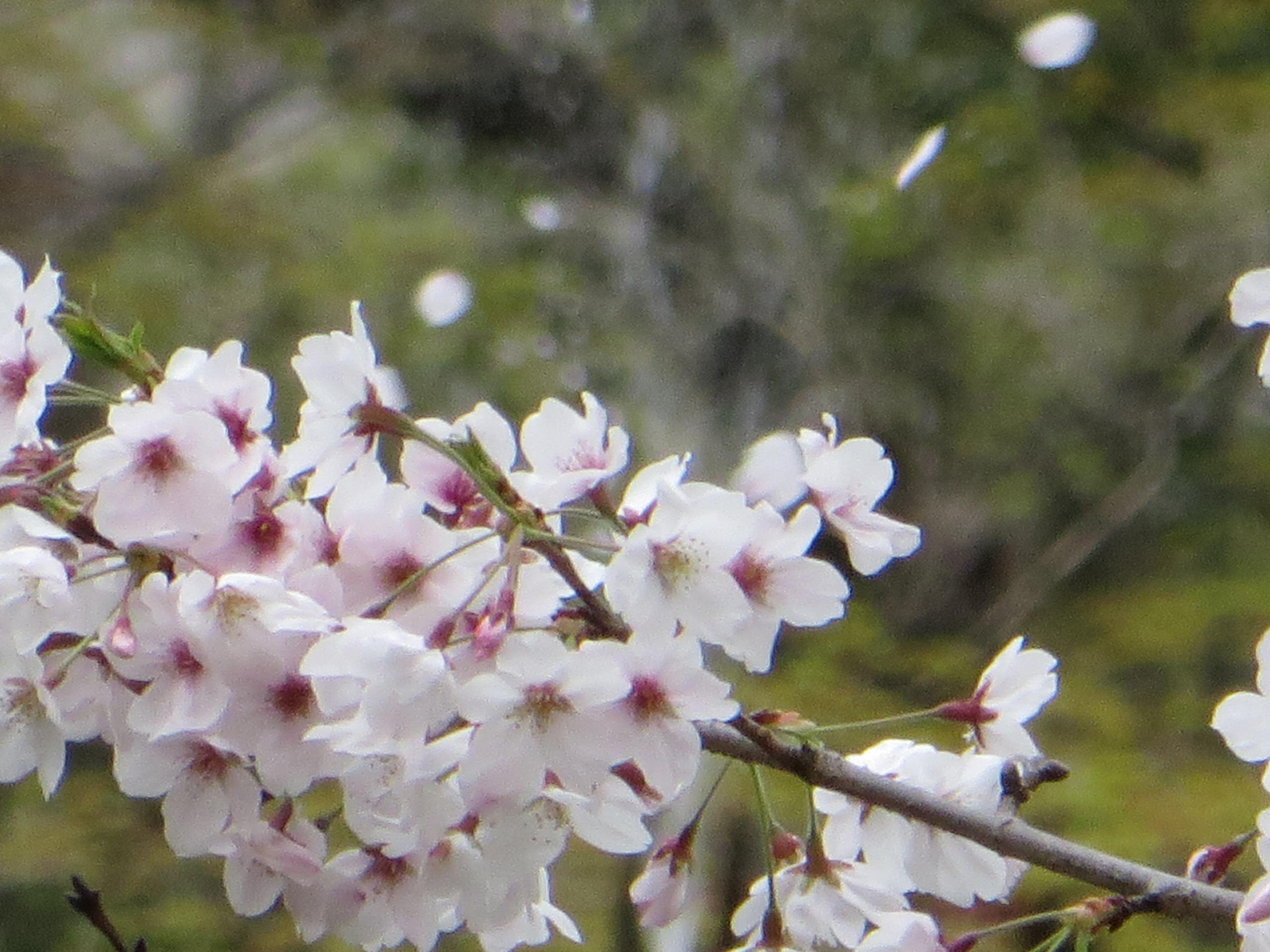 風に散る桜