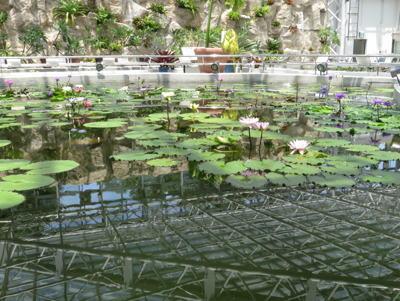 温室内の熱帯睡蓮