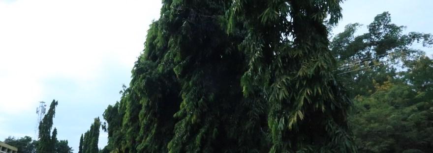Indian mast tree/ マストツリー