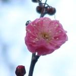 ウメ 正月に咲きはじめた紅梅