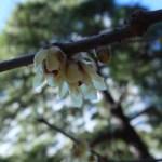 ロウバイ 開きはじめた花
