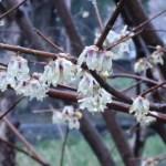 ロウバイ 霙の中咲く花
