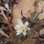 ユキワリイチゲ 花の様子