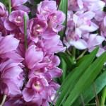 シンビジウム 花の様子