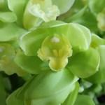 シンビジウム 花の姿