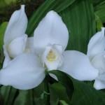 リカステ 白い花のアップ