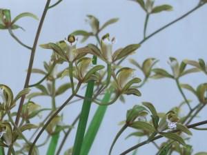 シンビジウム Cym. erythraeum