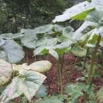 フキ アキタブキ 植物の様子