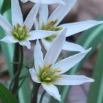 Amana erythronioides/ ヒロハノアマナ