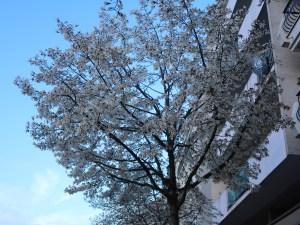 シデコブシ 満開の木の姿
