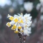 ミツマタ 花の姿