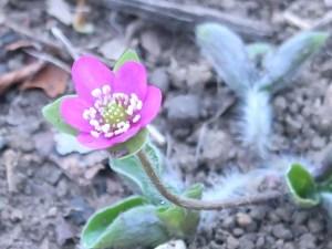 ミスミソウ ピンクの花