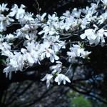 シデコブシ 花の姿