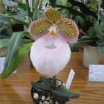 パフィオペディルム Paphiopedilum micranthum