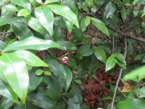 カラタマオガタマ 花の咲いている様子