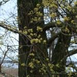 サンシュユ 早春に咲く黄色い花