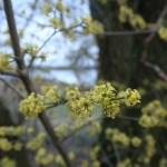 サンシュユ 早春の花の姿