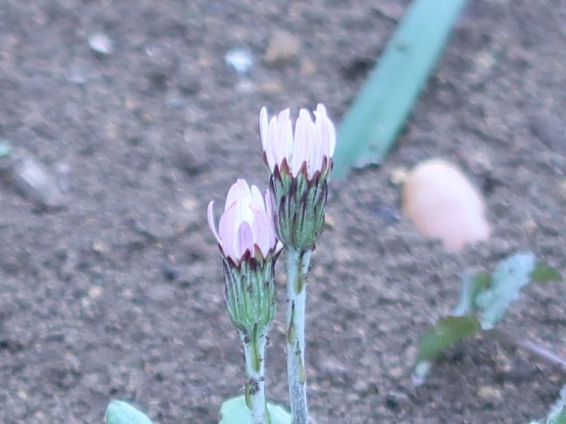 Gerbera anandria/ センボンヤリ
