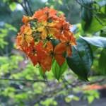 ボウヒニア・コッキアナ 花の姿